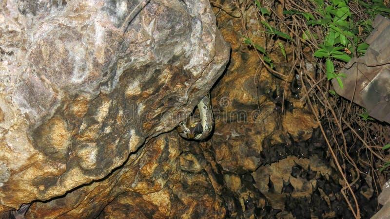 饥饿的蛇在岩石壁架和狩猎耐心地等待在一根飞行的棒附近 棒殖民地等待微明 库存照片