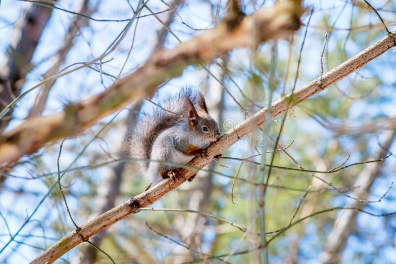 饥饿的野生灰鼠坐树 免版税库存照片