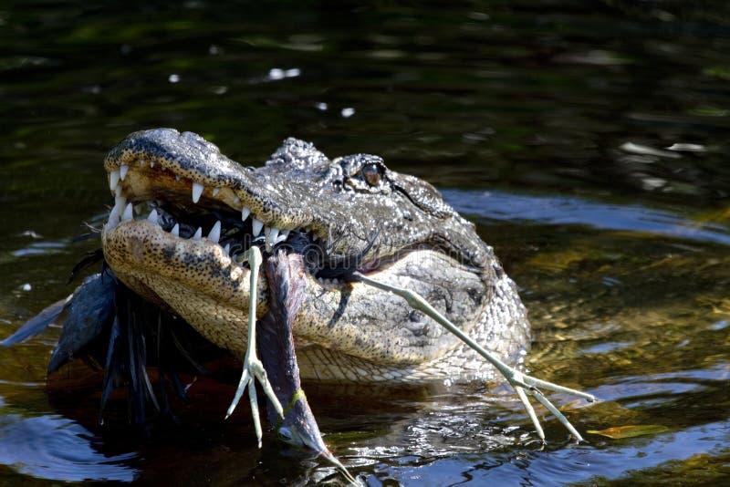 饥饿的鳄鱼 免版税库存照片