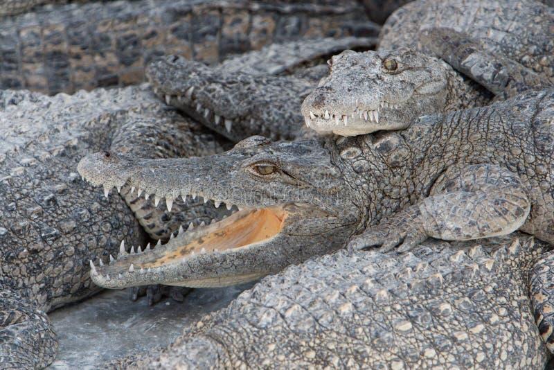 饥饿的鳄鱼 库存照片