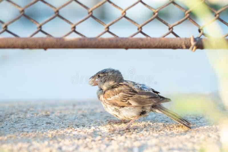 饥饿的麻雀鸟自己住 免版税库存照片