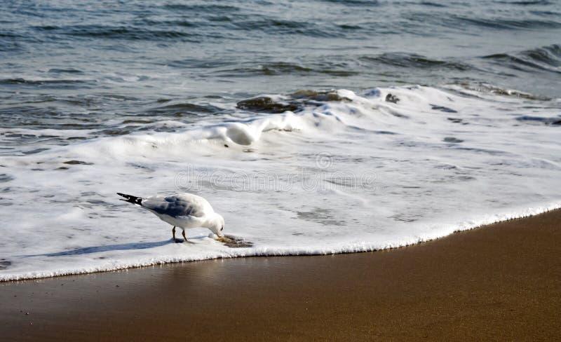 饮料的海鸥中止 库存照片