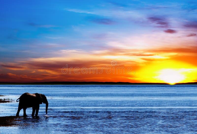 饮用的大象剪影 库存图片