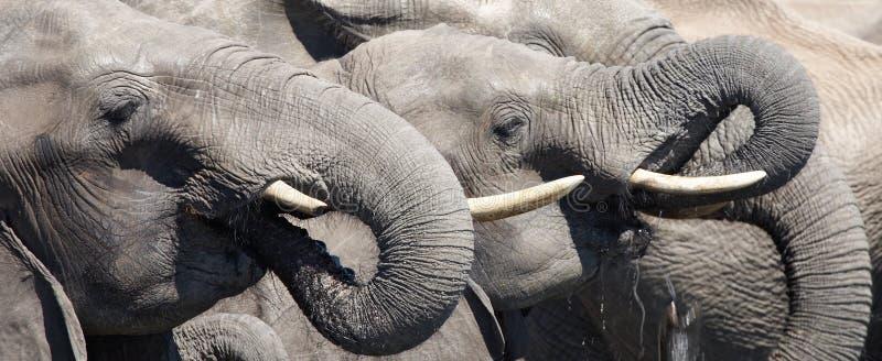 饮用的大象 免版税库存照片