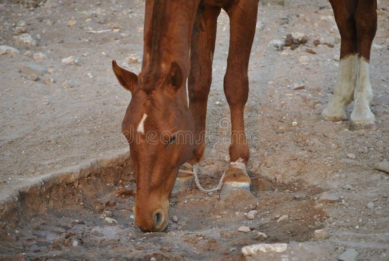 饮用的马水 免版税库存图片