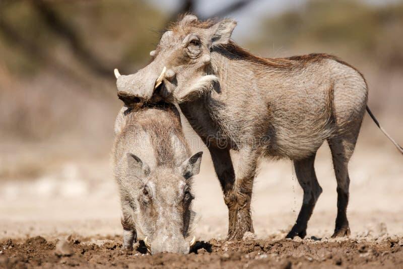 饮用的warthogs 免版税库存图片
