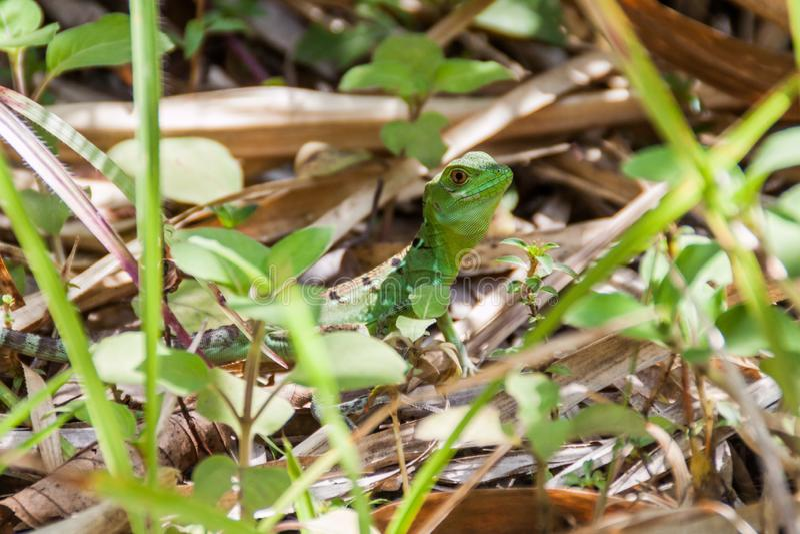 饰以羽毛的蛇怪蛇怪plumifrons,在国立公园阿雷纳尔,科斯塔Ri共同地也叫绿色蛇怪 免版税库存图片