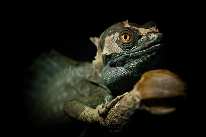 饰以羽毛的蛇怪,蛇怪plumifrons 免版税库存图片