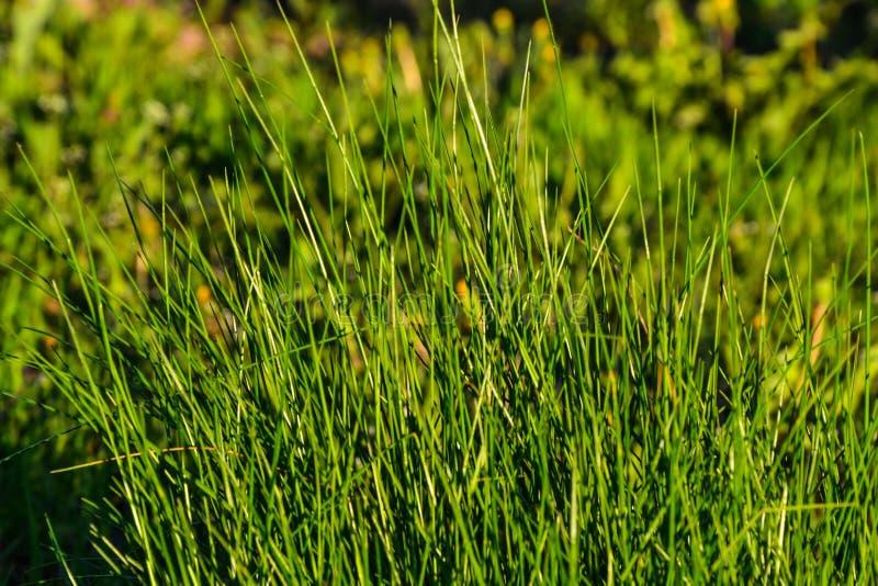 饱和的绿草在庭院里在以野花为背景的一个夏天晴天 迟来的 库存照片