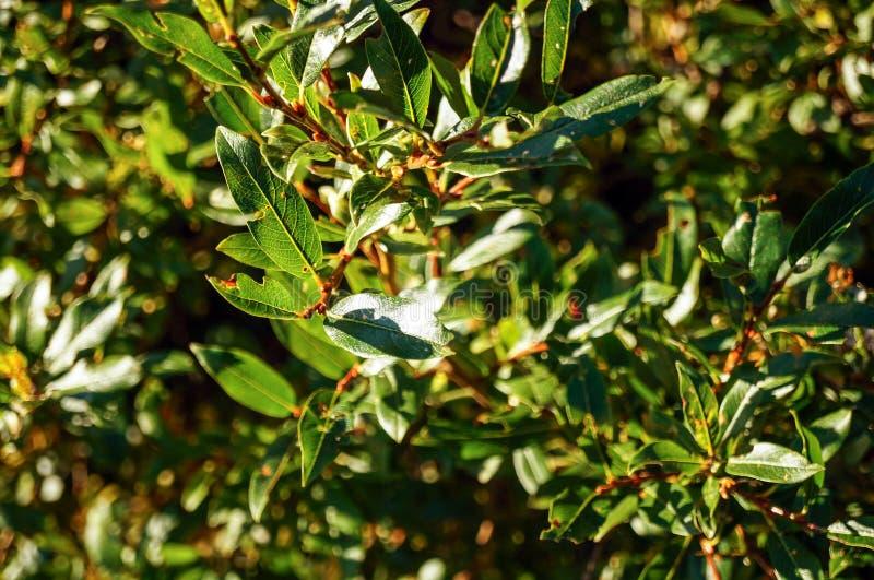饱和的绿色灌木 免版税库存图片