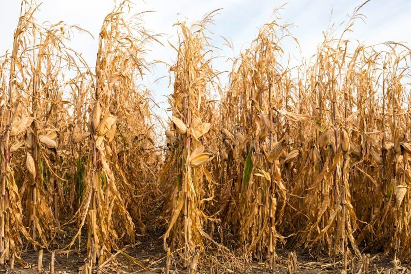 饲料在领域的玉米干燥 库存图片