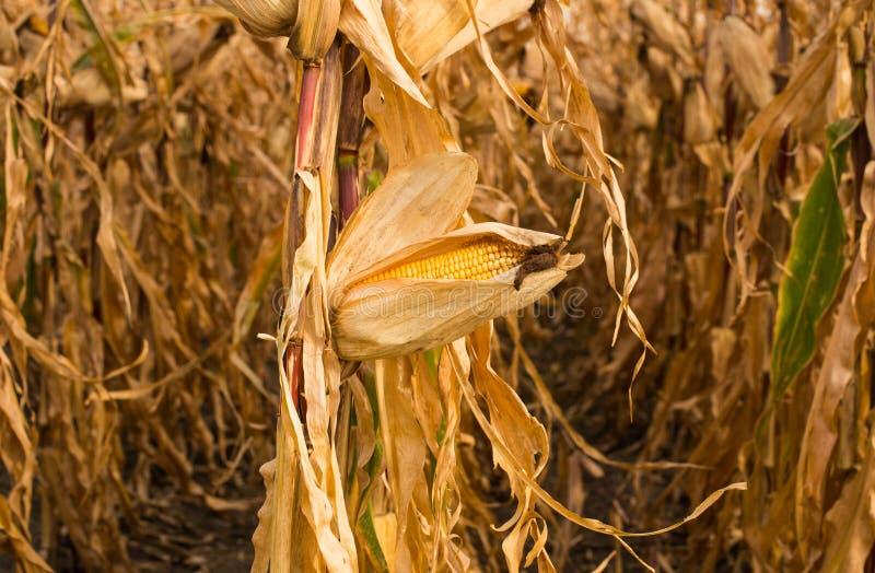 饲料在领域的玉米干燥 免版税库存照片