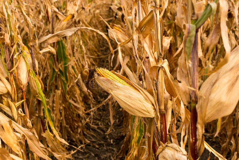 饲料在领域的玉米干燥 图库摄影