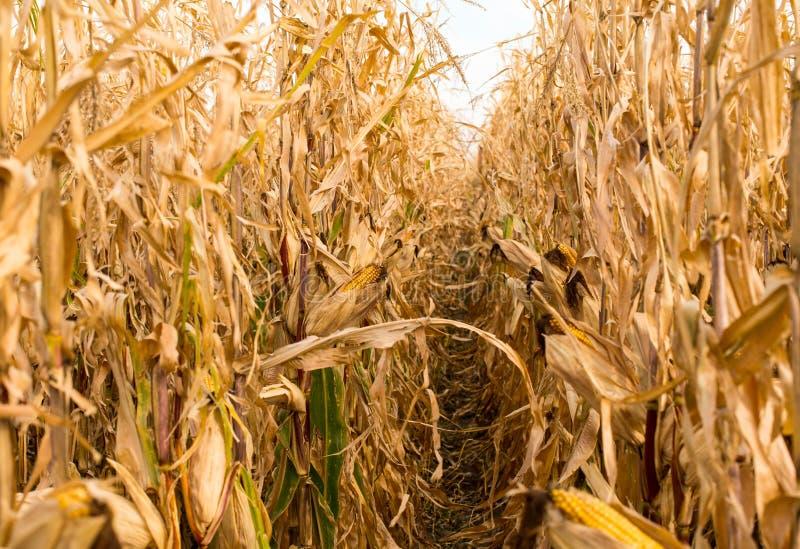 饲料在领域的玉米干燥 免版税库存图片