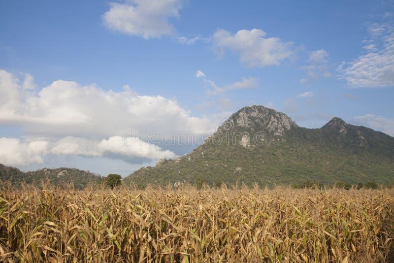 饲料在领域的玉米干燥 库存照片