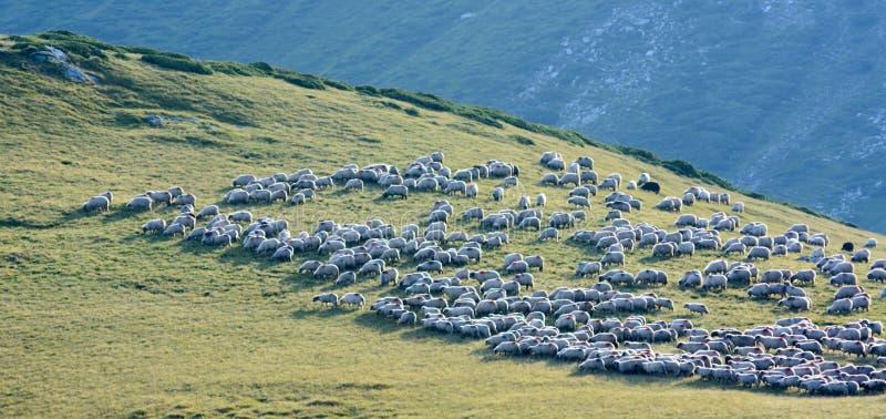 饲料草牧群绵羊 库存照片