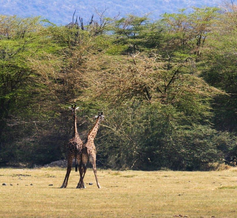 饶恕互相的两头Maasai长颈鹿 免版税库存照片