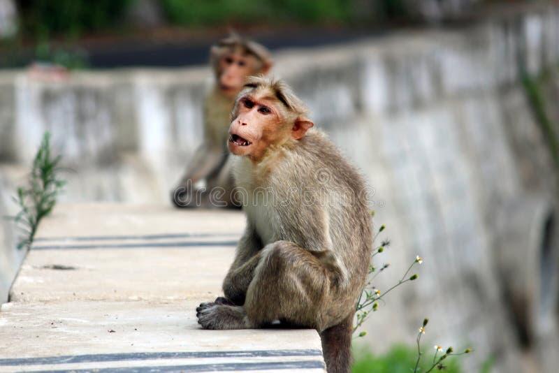 饿的猴子 免版税图库摄影