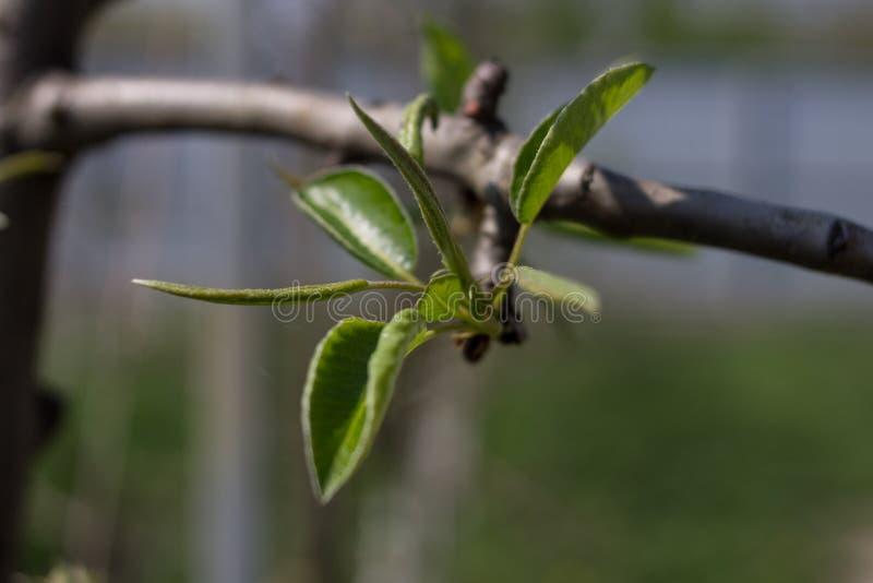 首先在苹果树的分支离开 免版税库存照片