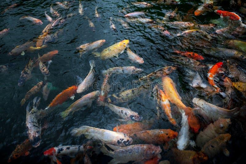 首创许多美丽的多色和红色的鲤鱼在tirta empul tampak的池塘,巴厘岛,印度尼西亚 库存图片