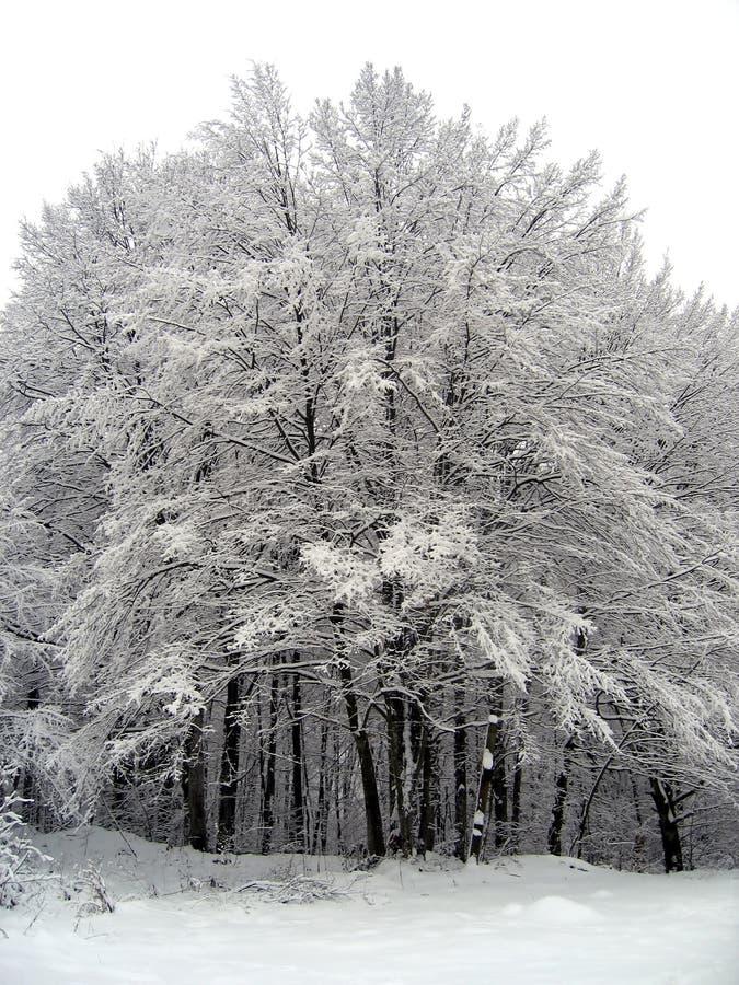 首要森林 库存图片