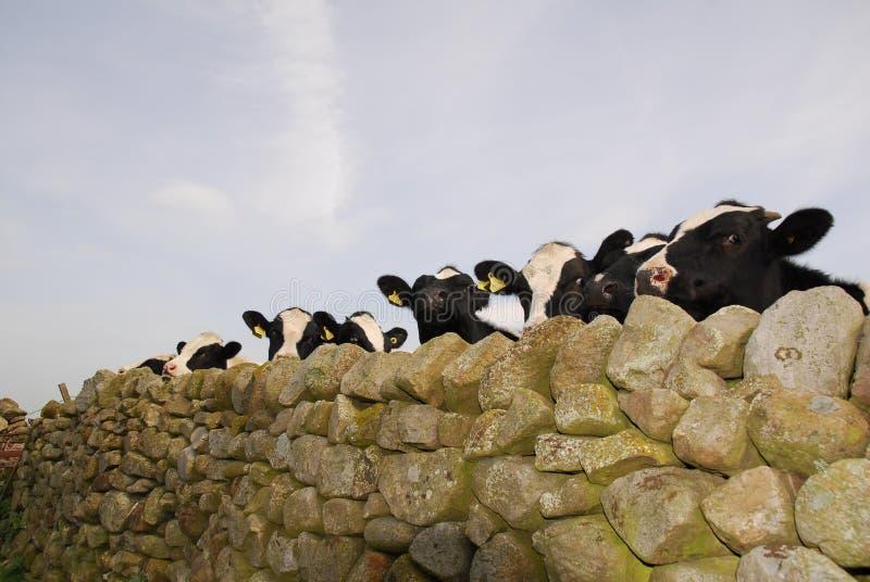 香动物的母牛这样 库存照片