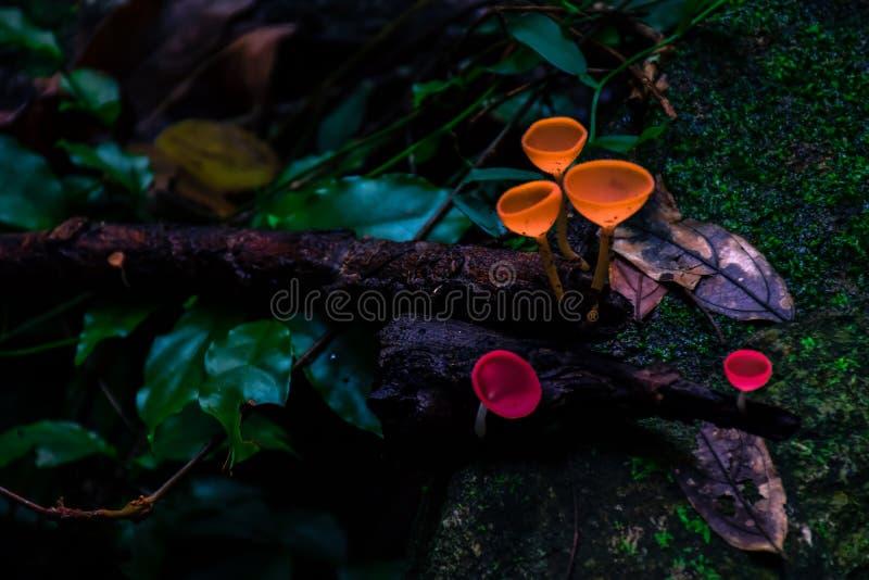 香宾蘑菇在森林里 免版税库存照片