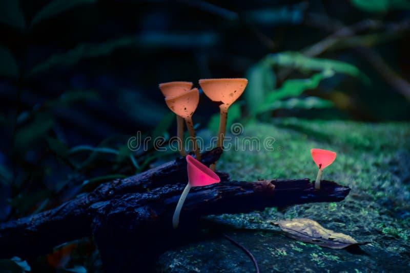 香宾蘑菇在森林里 库存照片