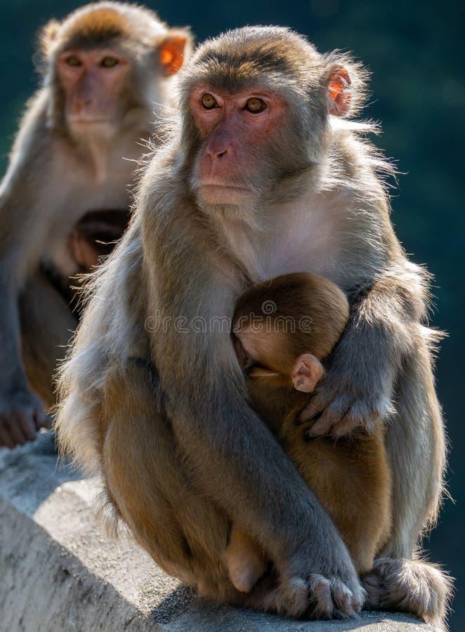 香港锦山郊野公园猕猴肖像 免版税库存照片