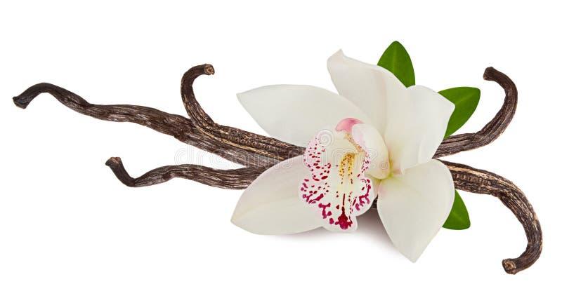 香草桃红色在白色背景或者荚隔绝的花和棍子作为包装的设计元素 食物的自然芳香香料 库存图片