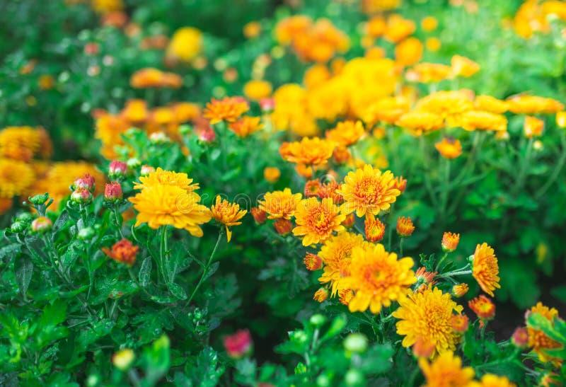 香草花 黄橙 库存图片