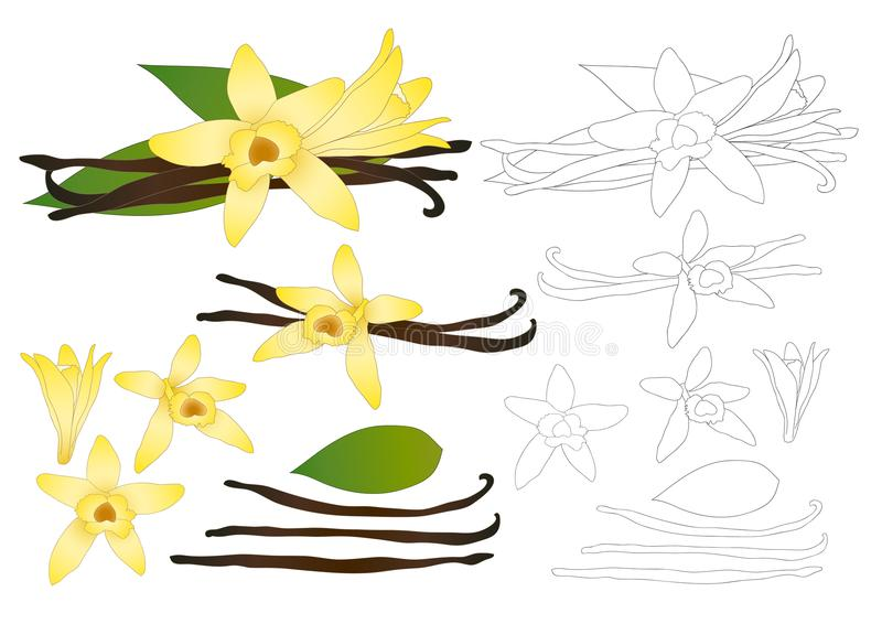 香草Planifolia花和香草荚或者豆概述 冰淇凌味道 也corel凹道例证向量 背景查出的白色 皇族释放例证