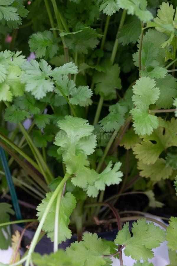 香菜植物 图库摄影