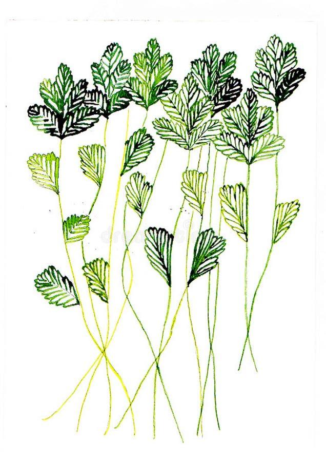 香菜水彩例证绘与刷子 库存照片