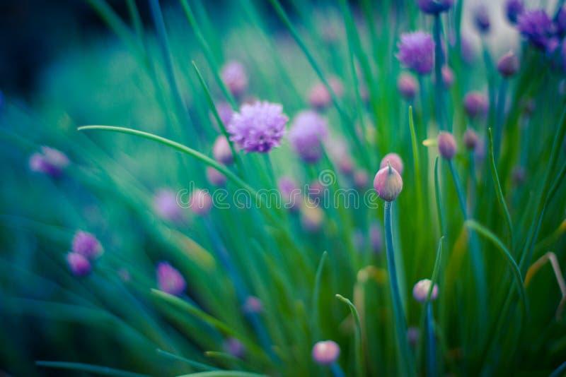 香葱在美好的迷离背景的草本花 开花的葱在菜园里 图库摄影
