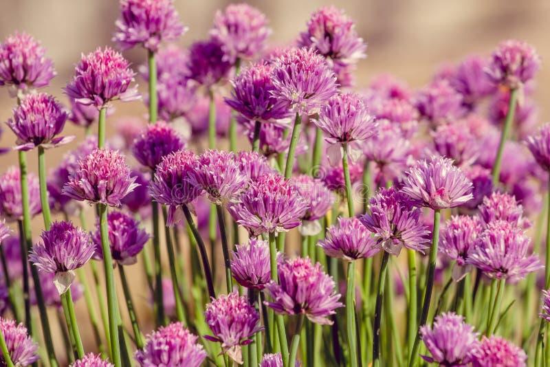 香葱在美好的bokeh背景的草本花 免版税库存图片