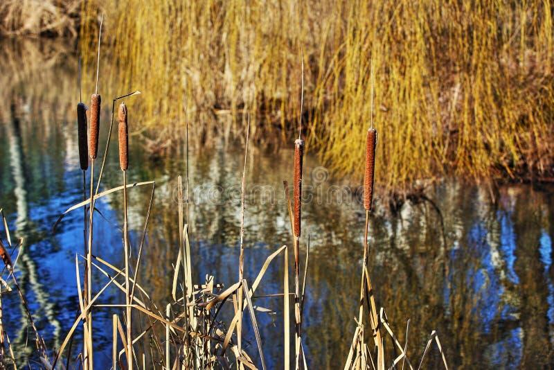 香蒲latifolia/纸莎草在池塘银行 免版税图库摄影