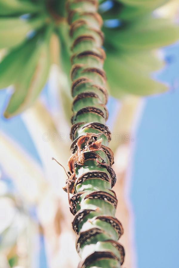 香蕉反对天空蔚蓝的棕榈树 关闭 免版税库存图片