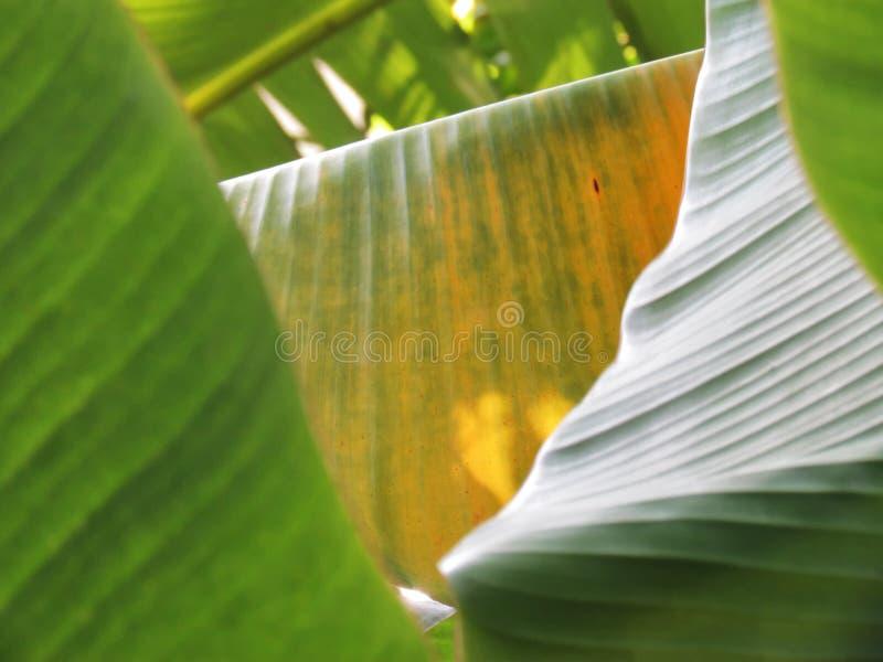 香蕉叶子交叠节奏在树的 美好的颜色 库存图片