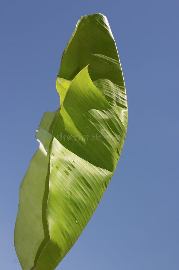 香蕉叶子结构树 免版税库存图片