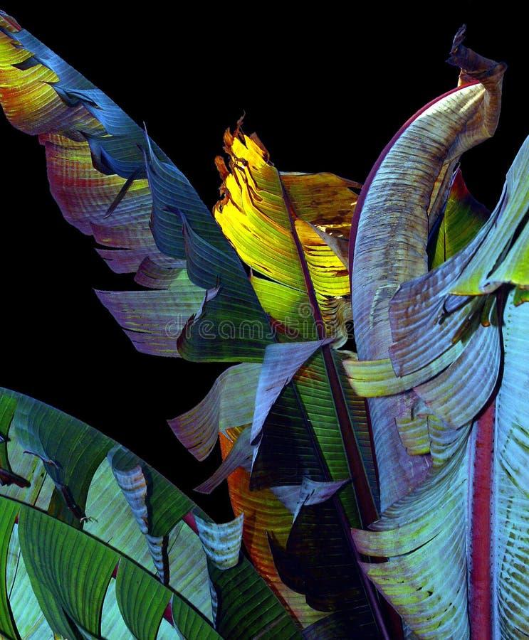 Download 香蕉叶子 库存图片. 图片 包括有 背包, 自然, 蓝蓝, 自治权, 颜色, 本质, 详细资料, 粉红色, 照亮 - 50017