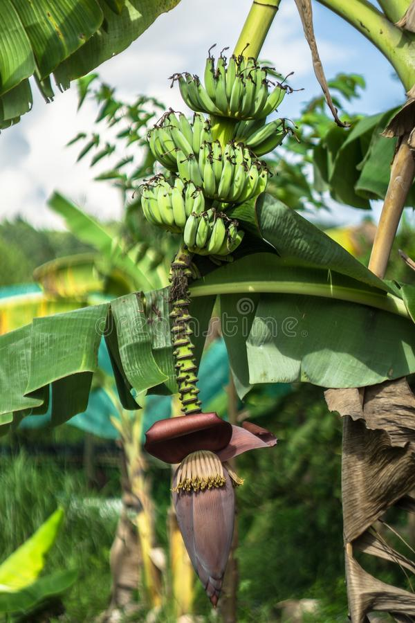 香蕉和香蕉花在芭 库存照片