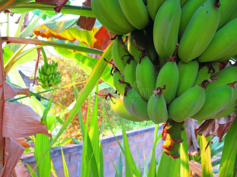香蕉在泰国 库存图片