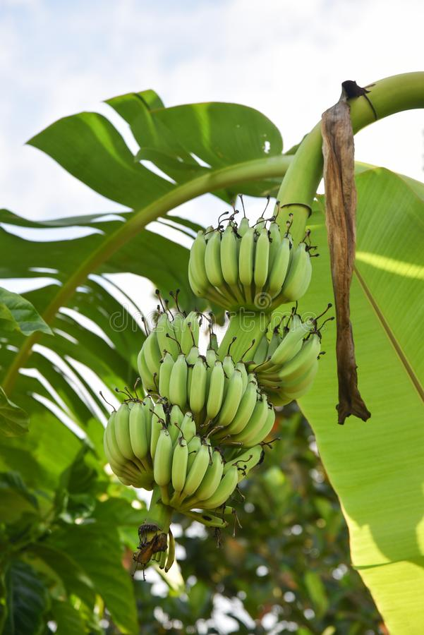 香蕉大明亮的接近的绿色留下结构树 免版税库存照片