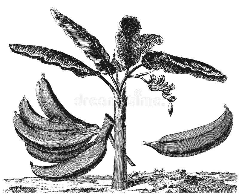 香蕉大明亮的接近的绿色留下结构树 向量例证