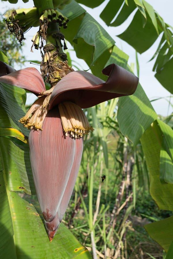 香蕉开花和束在树在庭院里泰国的 图库摄影