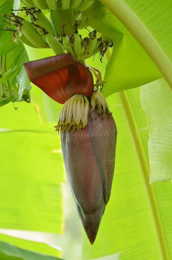 香蕉开花和香蕉束在树 免版税库存图片