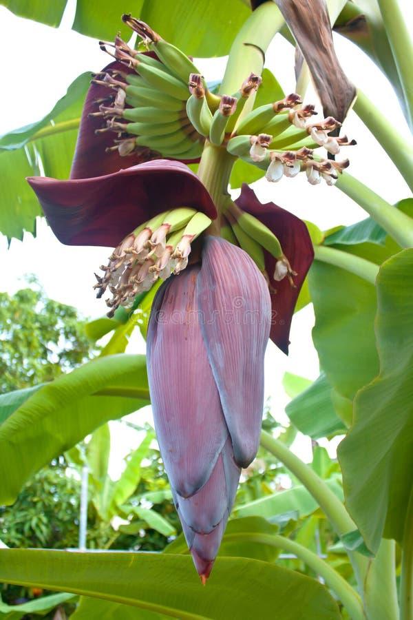 香蕉开花 库存图片