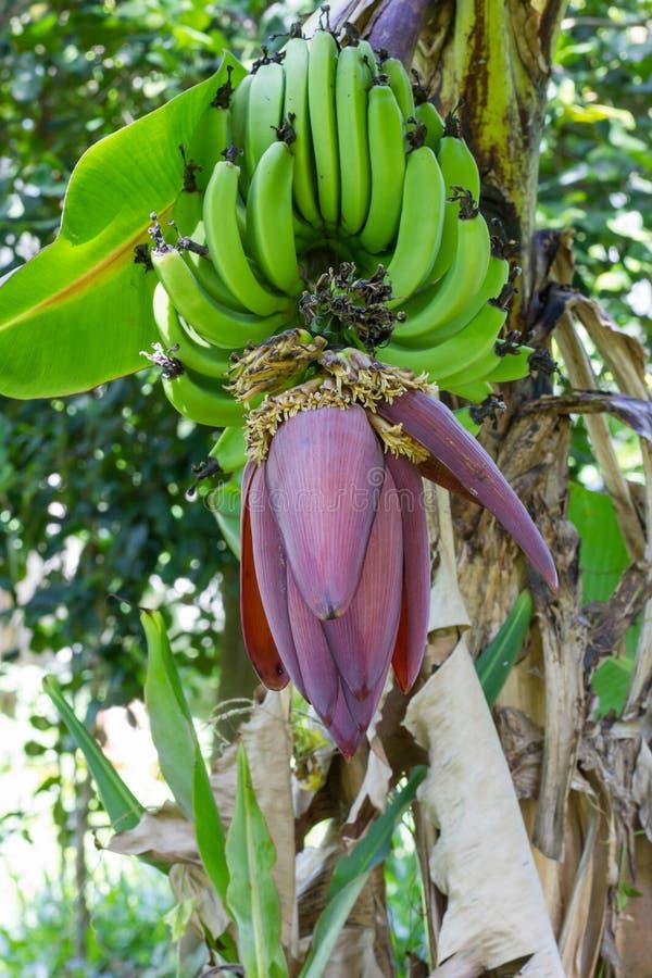香蕉开花 免版税库存图片