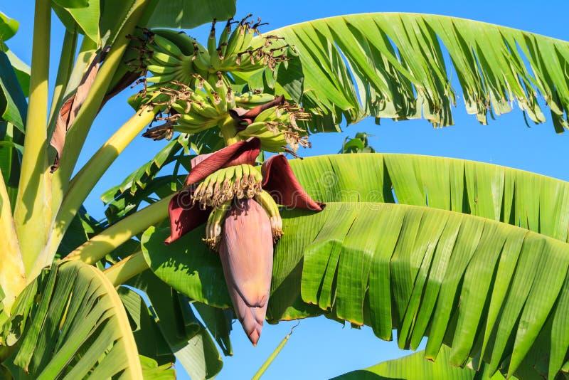 香蕉开花 免版税库存照片